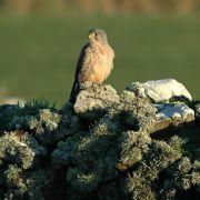 Kestrel Perched on Wall