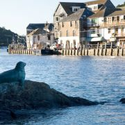 Nelson the Seal - Looe Harbour