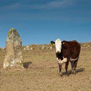Megalithic Cow (Porthmeor Stone)