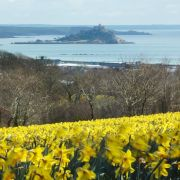 Daffodils and St Michael's Mount