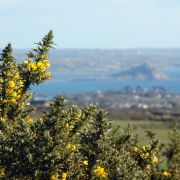 Gorse with Mount's Bay in the Background