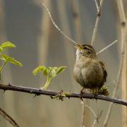 sedge warbler marazion rspb reserve