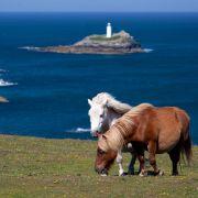 Cornish Shetland Ponies
