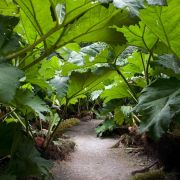 Gunnera Passage - Trebah