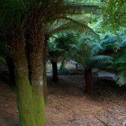 Tree Ferns - Trebah