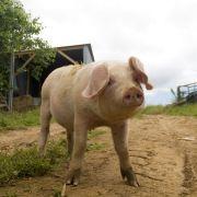 Trevaskis Porker