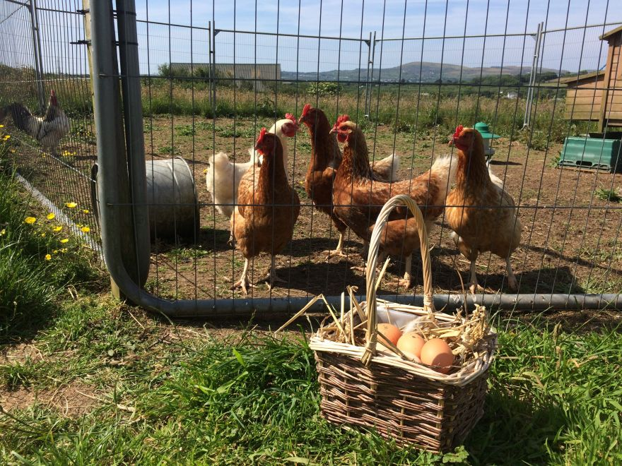 Our lovely girls - chickens at Mena Farm