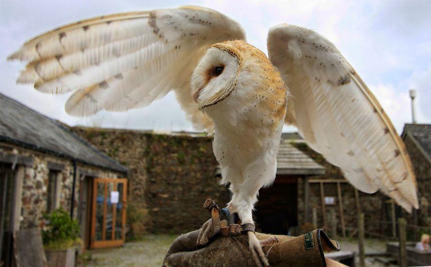 Ancient Art Falconry - Barn Owl