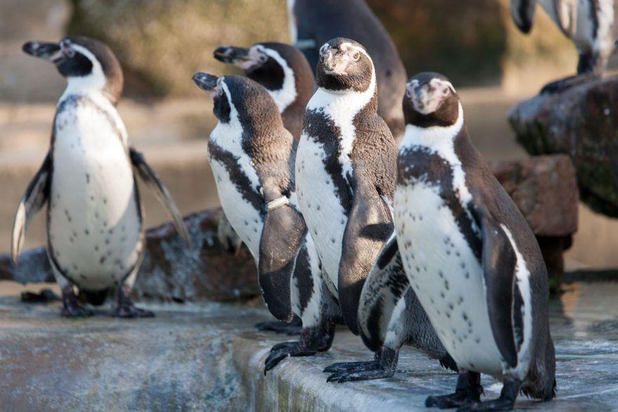 Paradise Park penguins