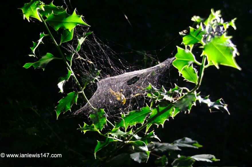 Holly and Spiderweb, Malpas