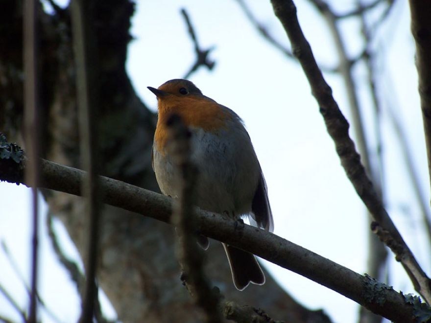 Tehidy Robin