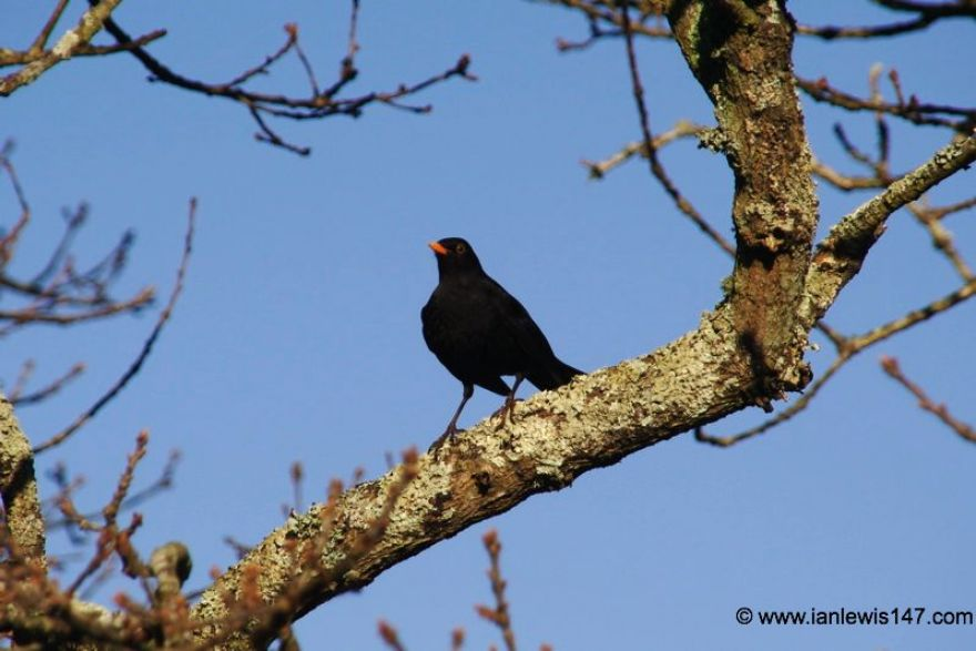 Blackbird, Restronguet Creek
