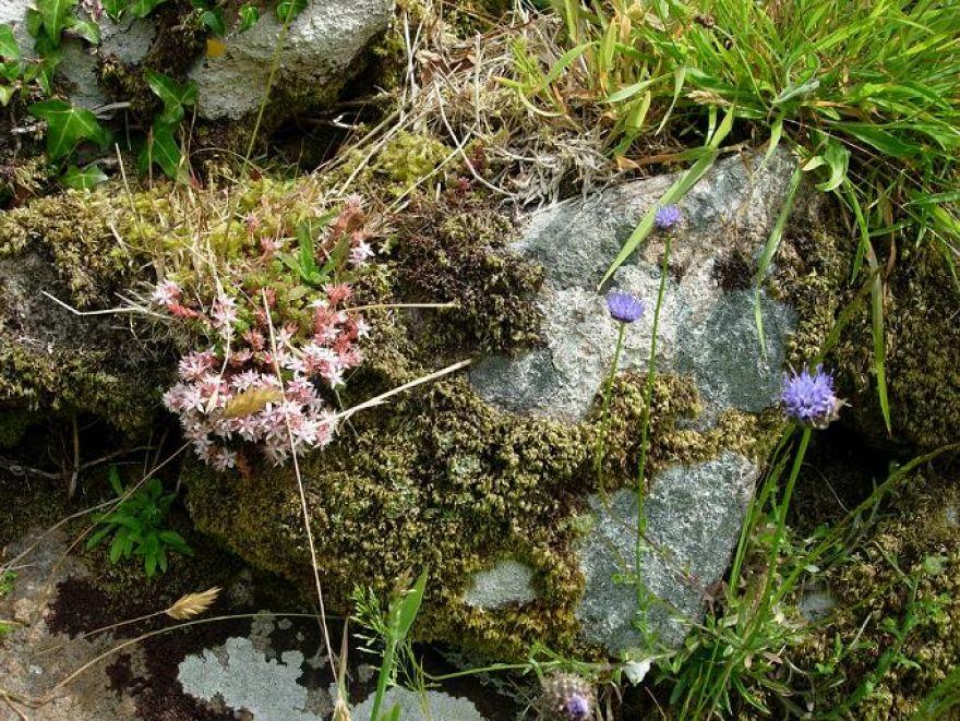 Chysauster  Flora