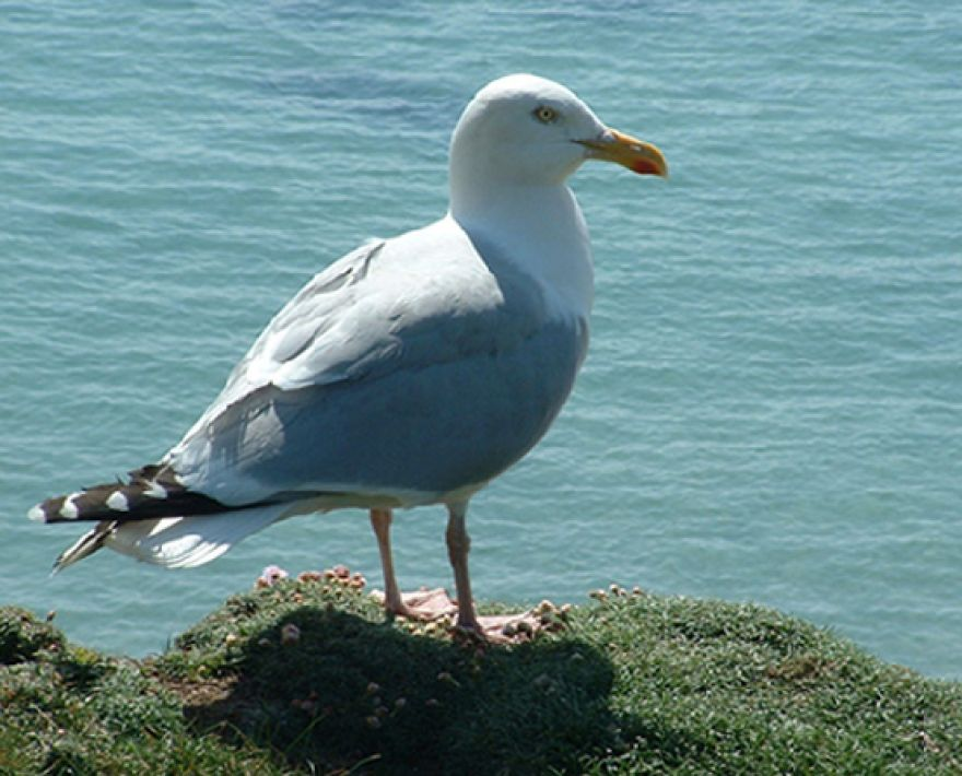 Gwithian Seagull Visit