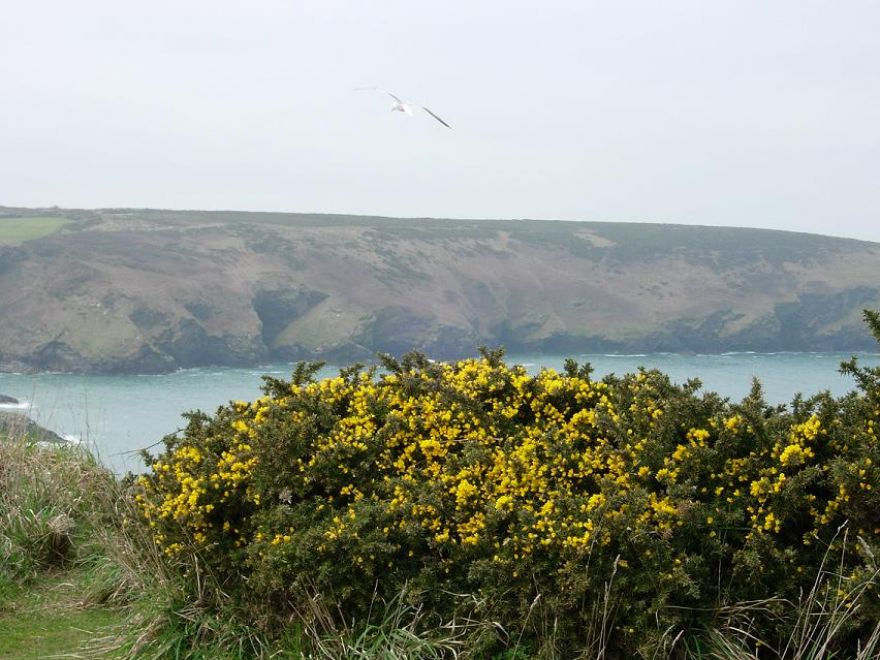 Gorse and Gull