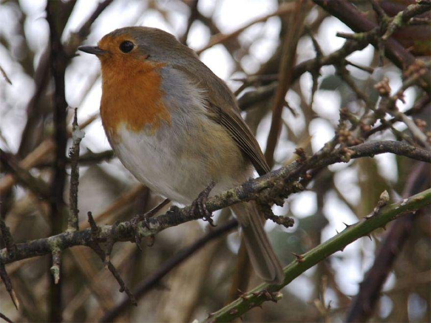 Robin, The Great Flat Lode