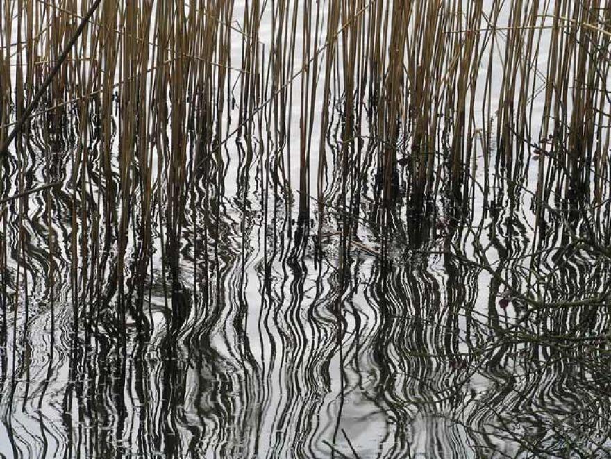Reeds at Swanpool