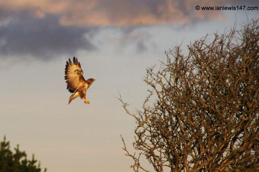 Buzzard negotiating tree landing