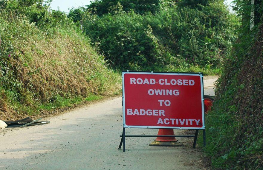 Badger Activity!