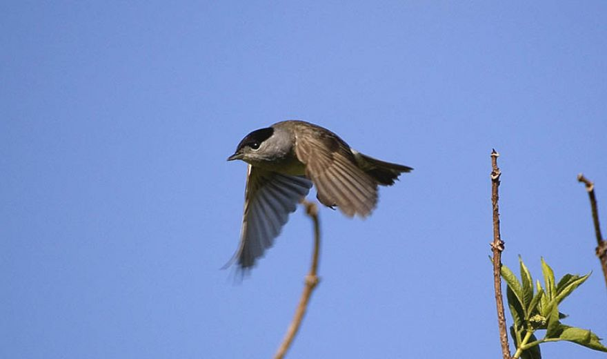 blackcap 2 the chase