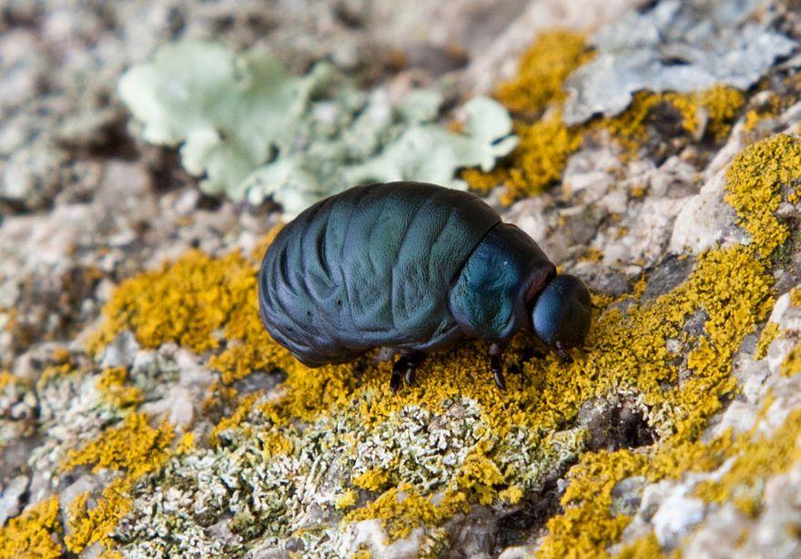 Bloody Nose Beetle Larva