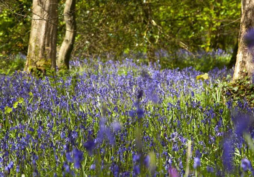 Cornish bluebells