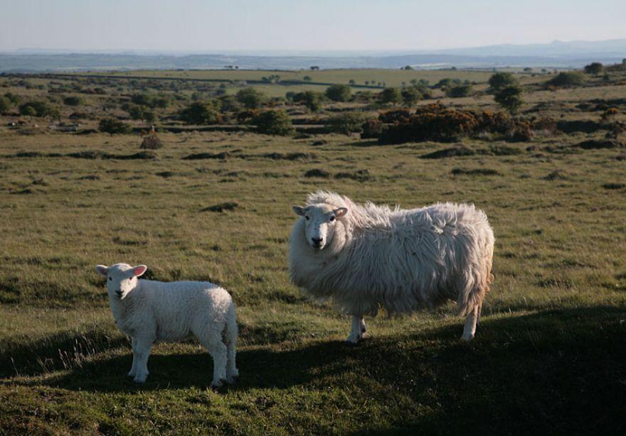 Bodmin Moor Sheep