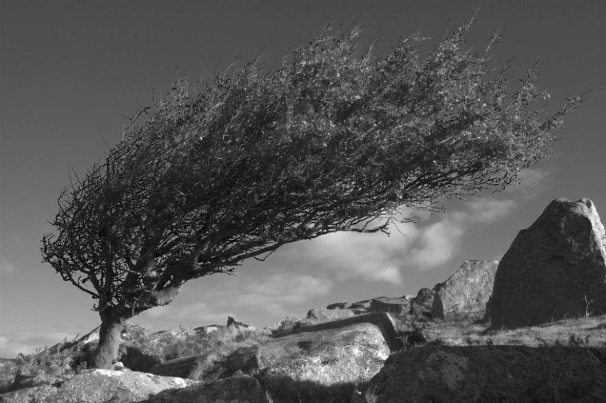 Windswept Hawthorn Tree