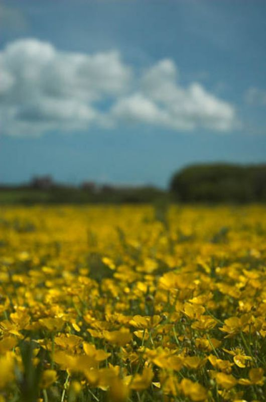 Buttercup blur