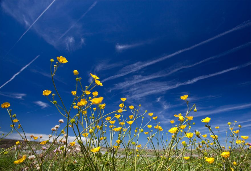 Buttercups and contrails