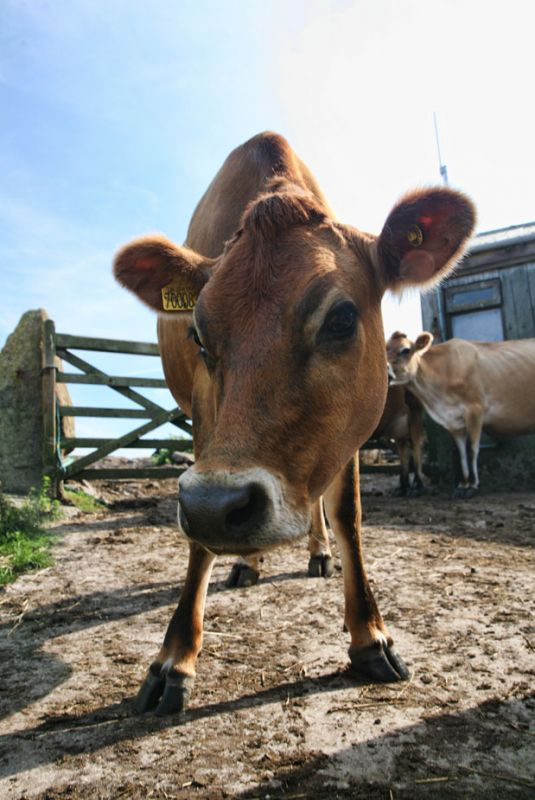 Scilly Cow