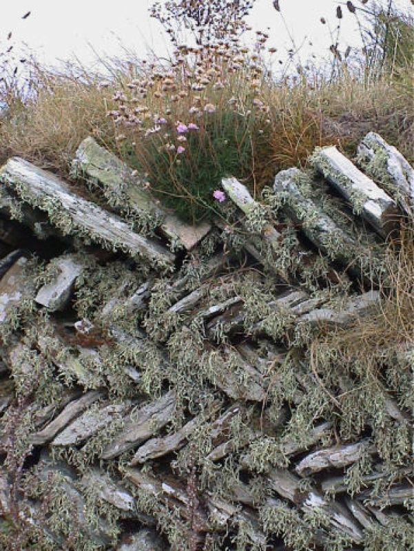 Cornish wall covered in lichen