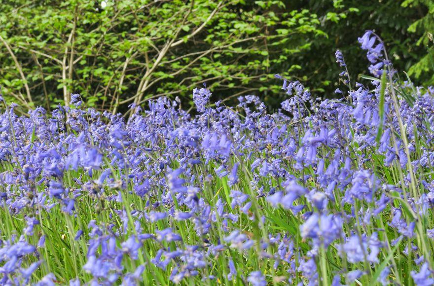 Glendurgan bluebells