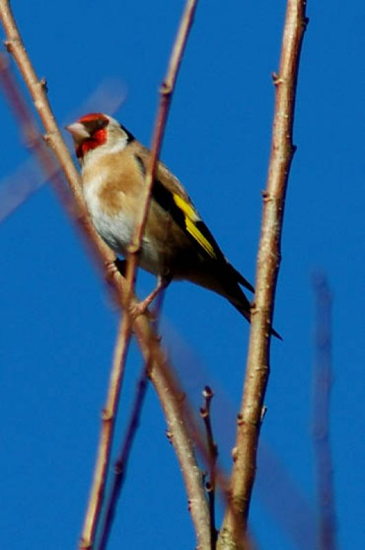 Cot Valley Gold finch