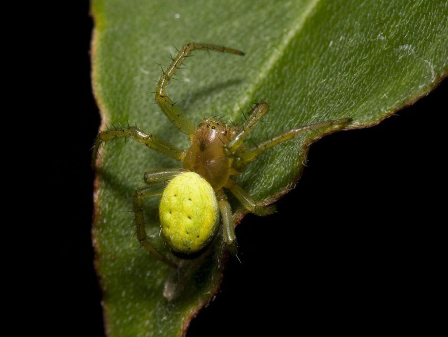 Green Spider (Araneus cucurbitinus)