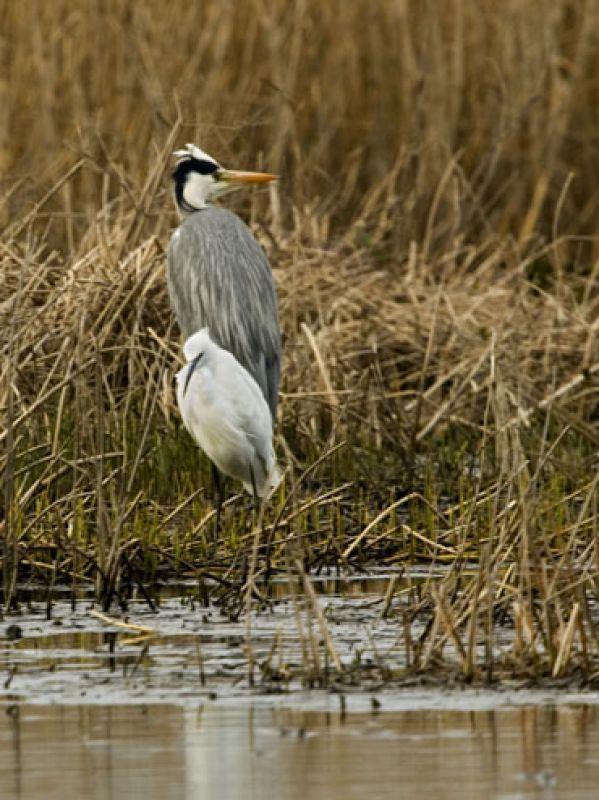 Grey Heron, little Egret