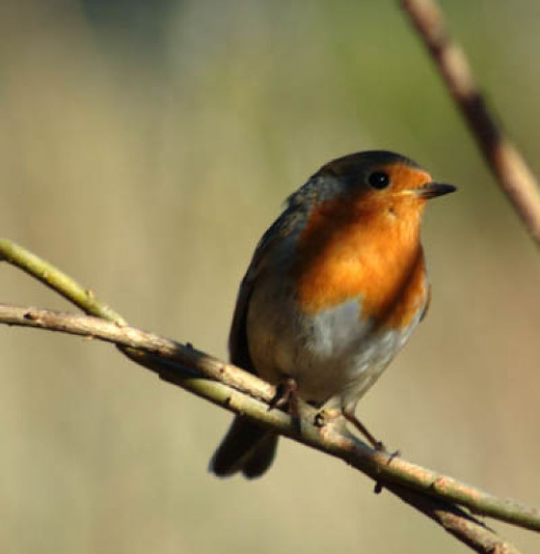 Cot Valley Robin