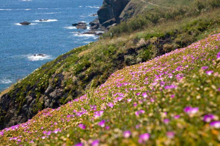 Lizard Cliff Flowers