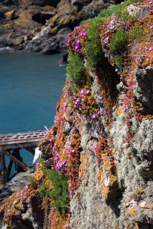 Lizard Cliff Flora