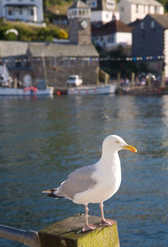 Looe Seagull