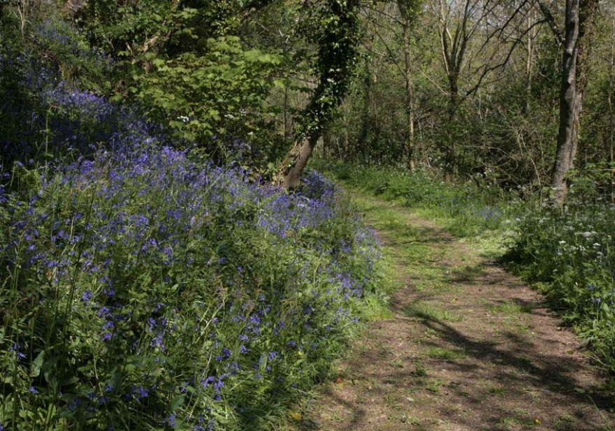 Loe Woods Bluebells