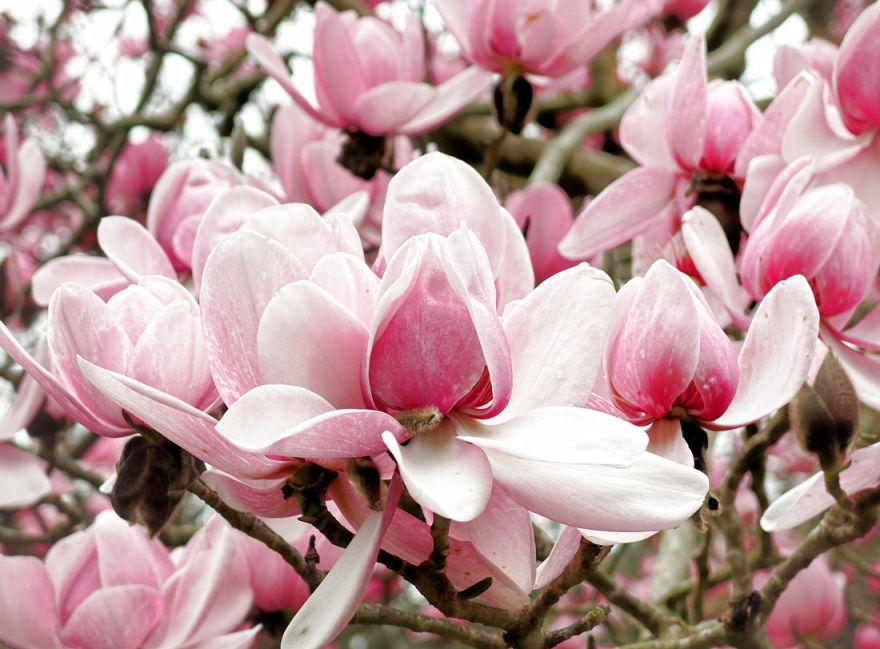 Magnolias - Trengwainton Gardens