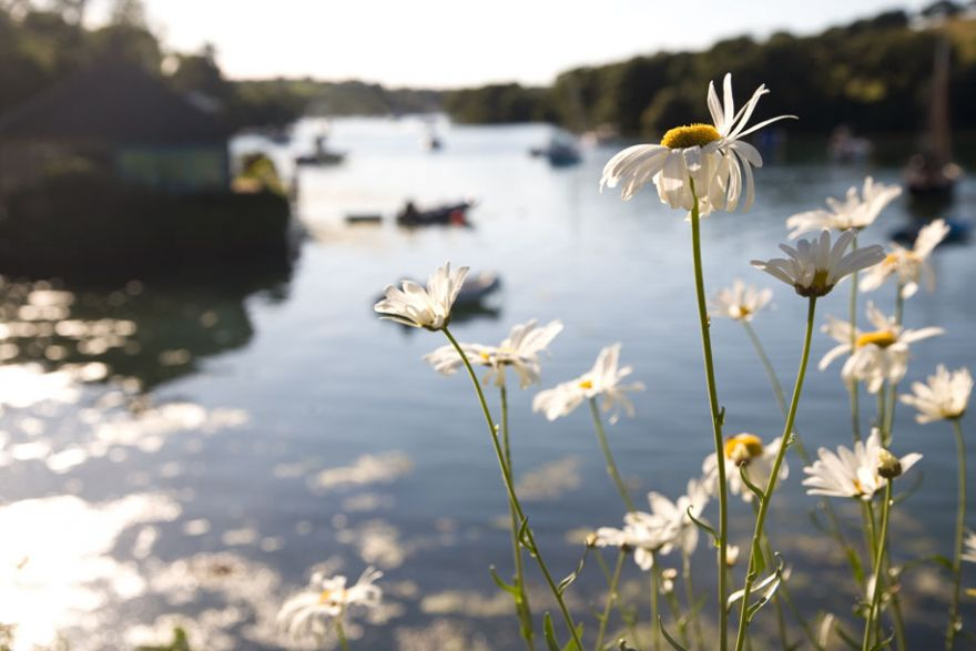 Mylor Creek Daisies