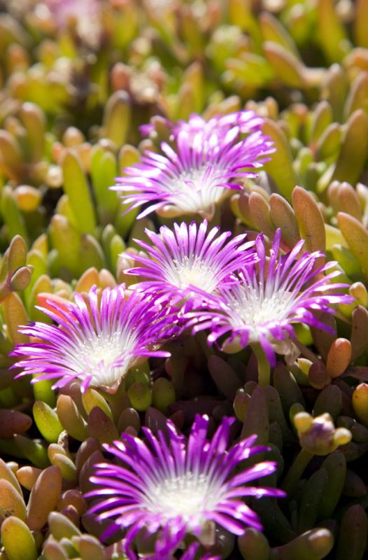 Pink Hottentot Figs