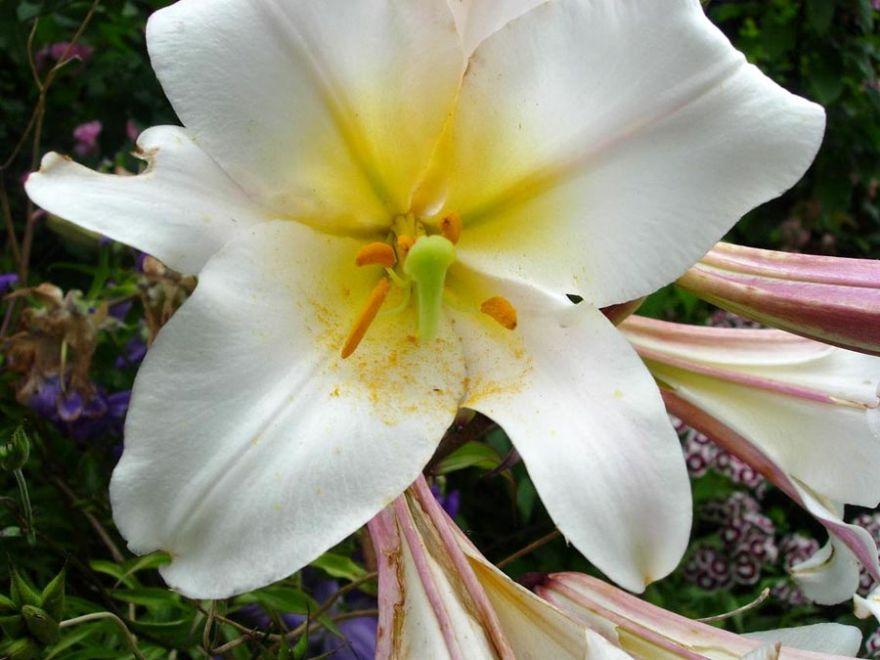 Pollen On White Trumpet