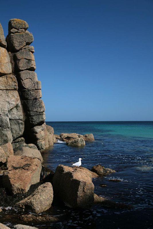Porthgwarra Seagull