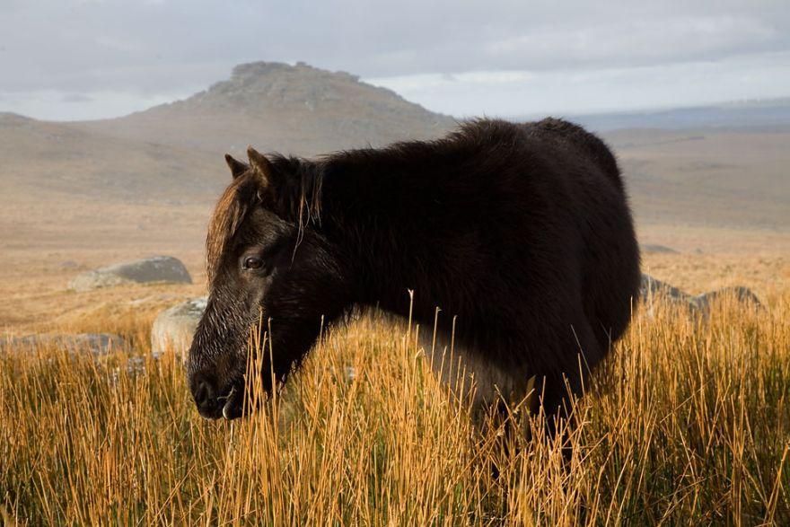 Roughtor Pony - Bodmin Moor