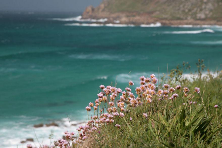 Sennen Coastpath Flowers