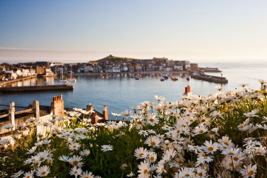 St Ives Daisies