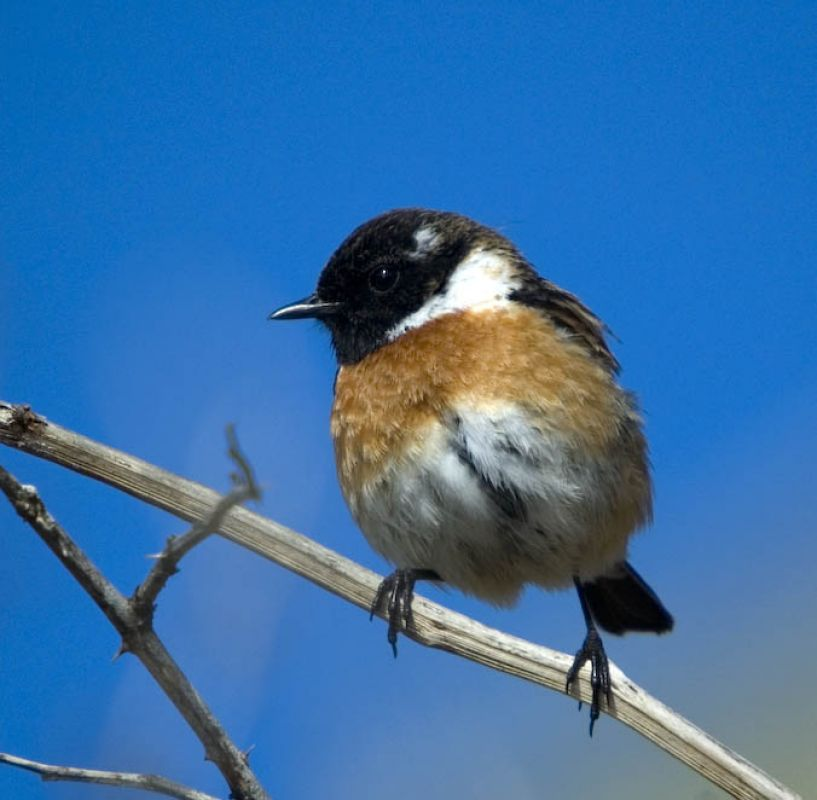 male stonechat at gwenva